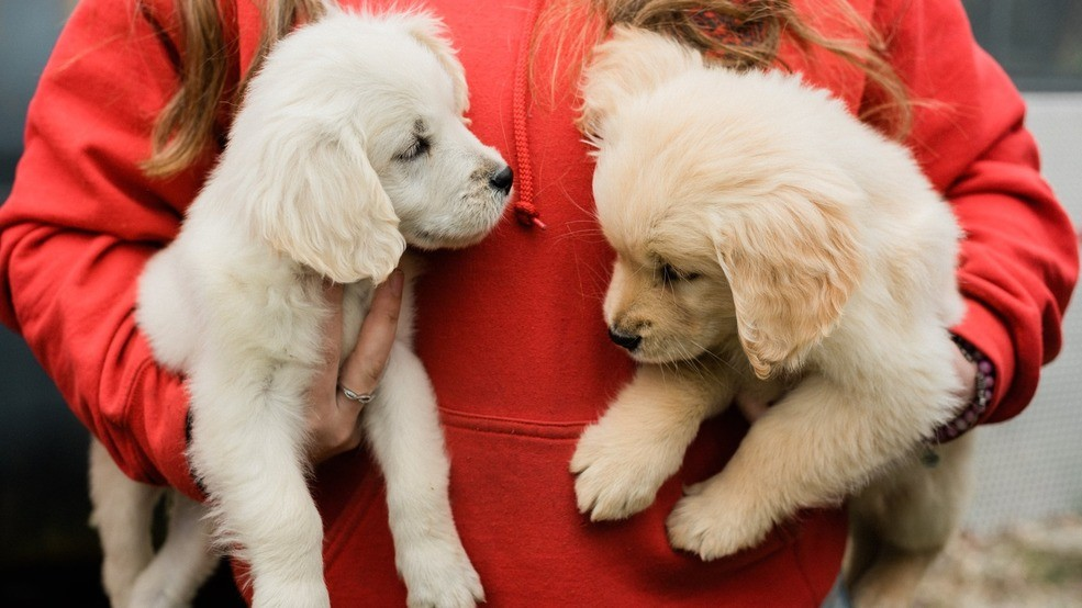 Golden retrievers rescued from 'deplorable conditions' at